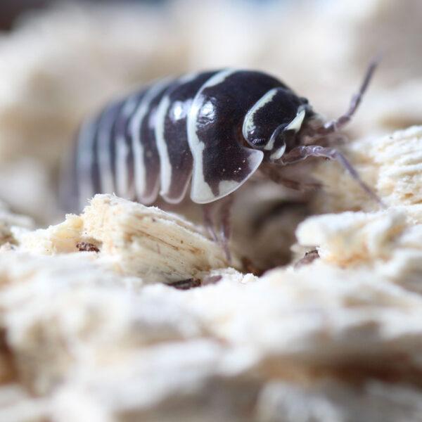 """Armadillidium maculatum """"Zebrarollassel"""""""