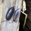 Oniscus asellus-Mauerassel