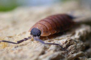 Isopods (Porcellio)