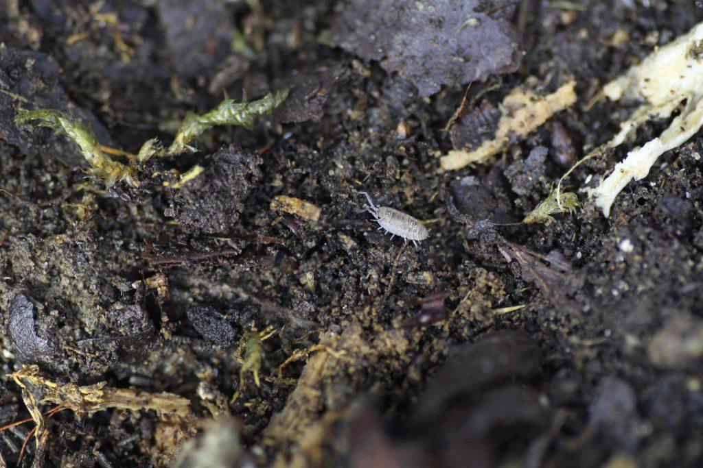Oniscus asellus Mardi Gras