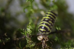 "Armadillidium maculatum ""Yellow"""