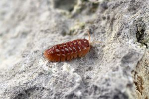 "Armadillidium werneri ""Orange"""