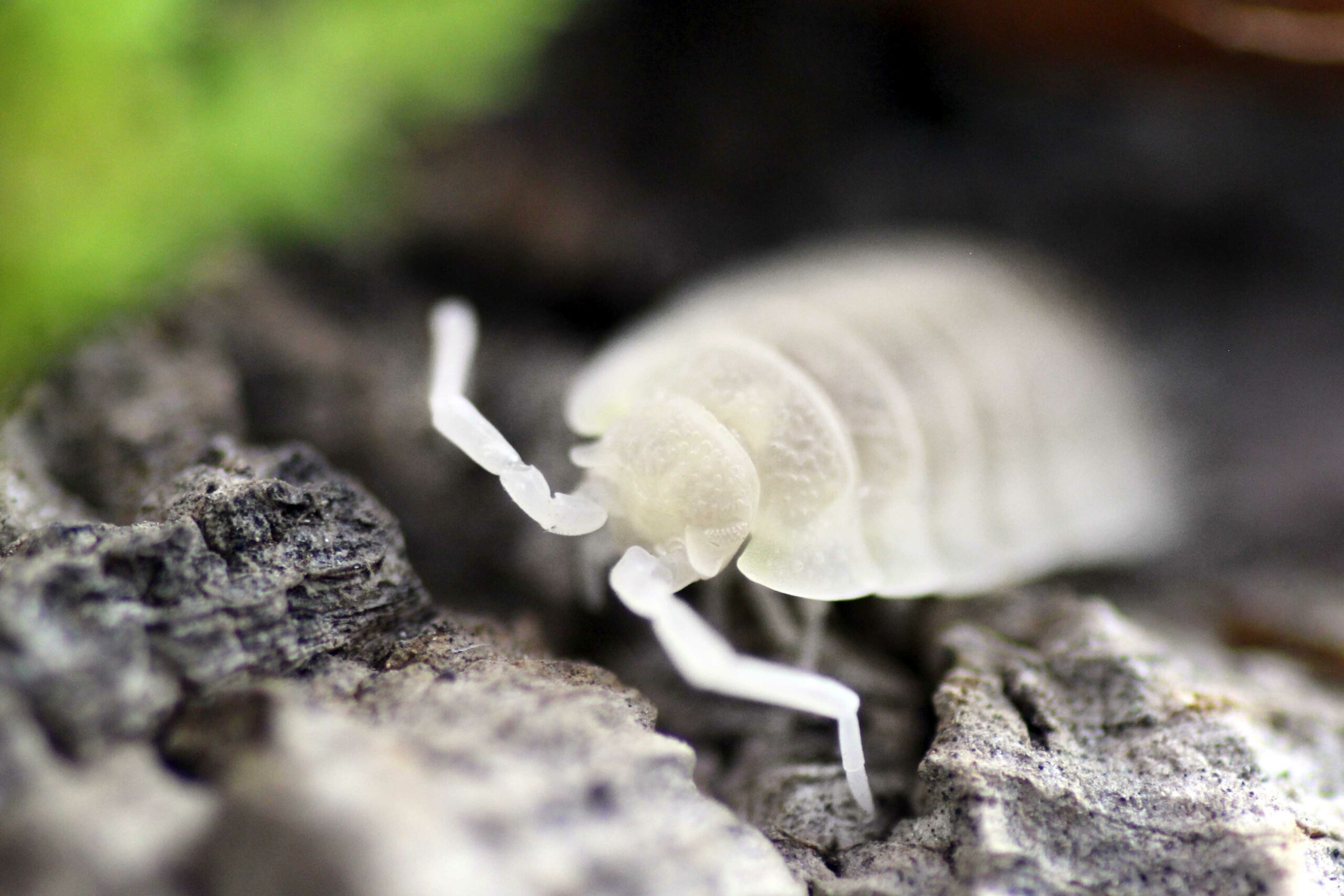 "Porcellio scaber ""White Out"""