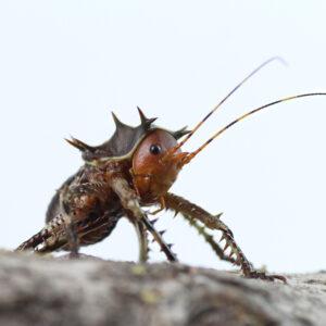 Cosmoderus femoralis