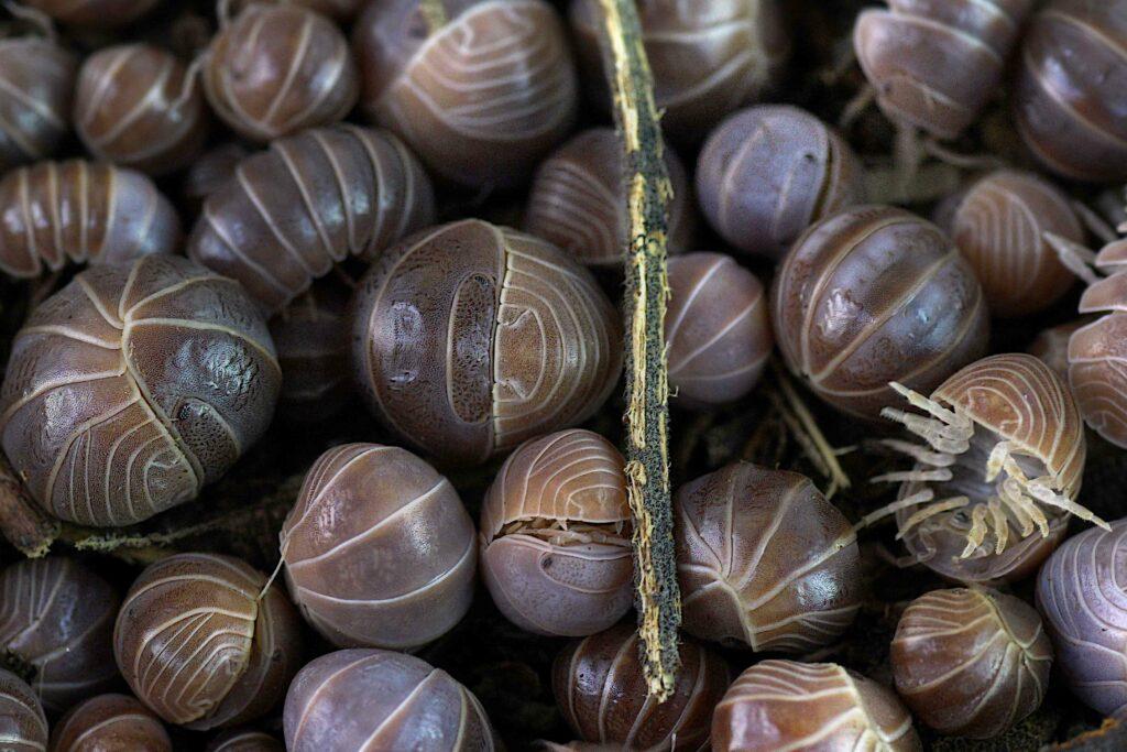 Overpopulation Isopods