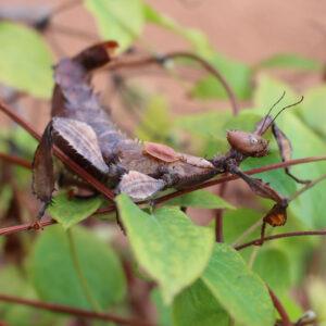 """Australische Gespenstschrecke """"Extatosoma tiaratum"""""""