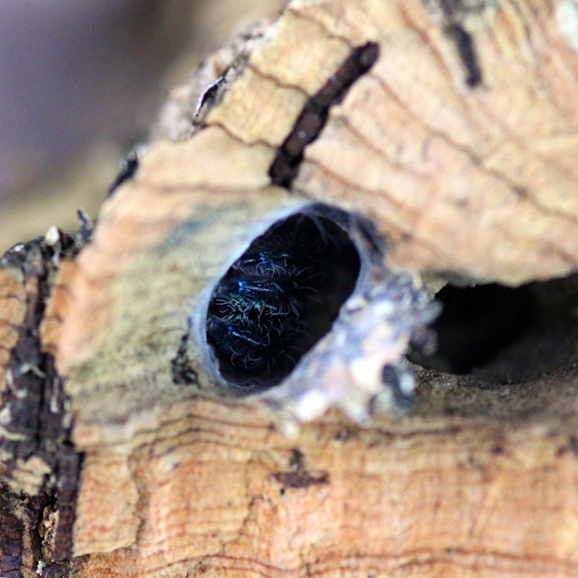 Typhochlaena seladonia