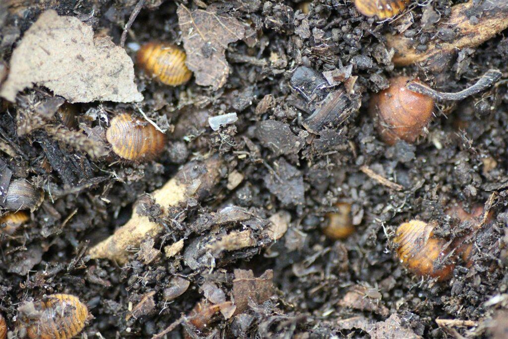 Therea regularis Flake Soil