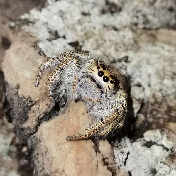 Hyllus walckenaeri