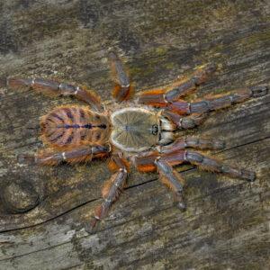 Phormingochilus spec. rufus