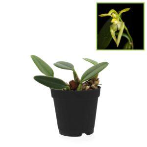 Bulbophyllum lasiochilum var flava